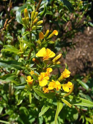 Estragon mexicain (Tagetes lucida)