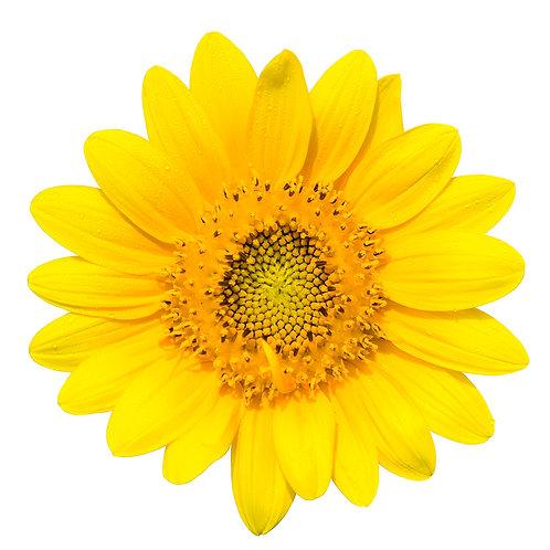 Sunflower – Dwarf