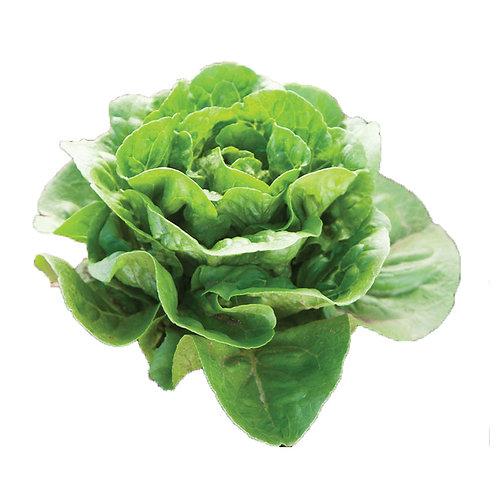 Lettuce – Dragoon (Romaine)