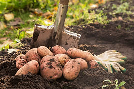 Organic potato harvest on soil in garden