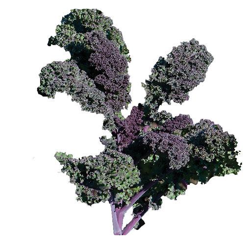 Kale – Redbor