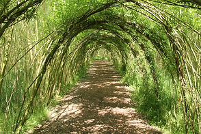 A Pathway Through a Tunnel of Willow Tre