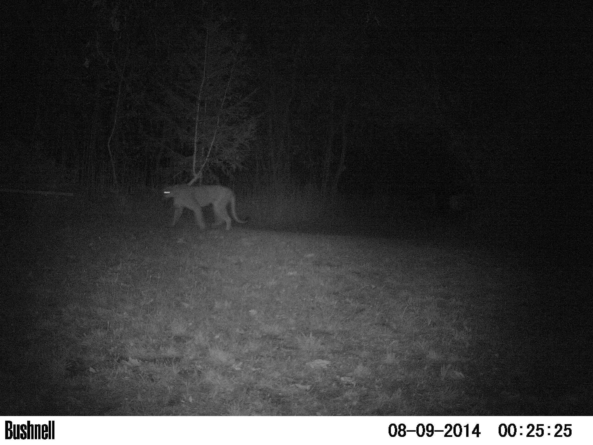 cougar 8-9-2014