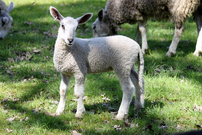 Liongate Farm Bluefaced Leicester Lambs