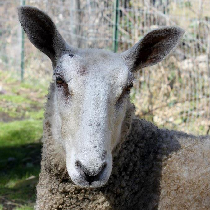 bluefaced leicester sheep