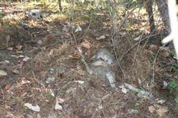 cougar kill Piers Champion Ram Lamb