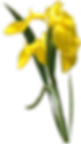IMGBIN_yellow-portable-network-graphics-flower-png_MepXemvX_edited.png