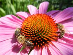 čebele_na_ameriškem_slamniku