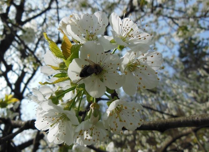 Čebela na češnji