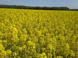 Cvetoče polje