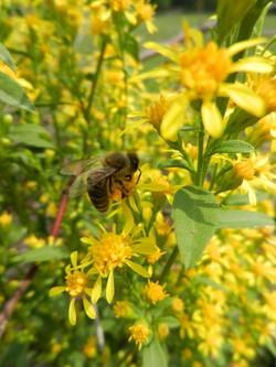 Čebela na šentjanževki