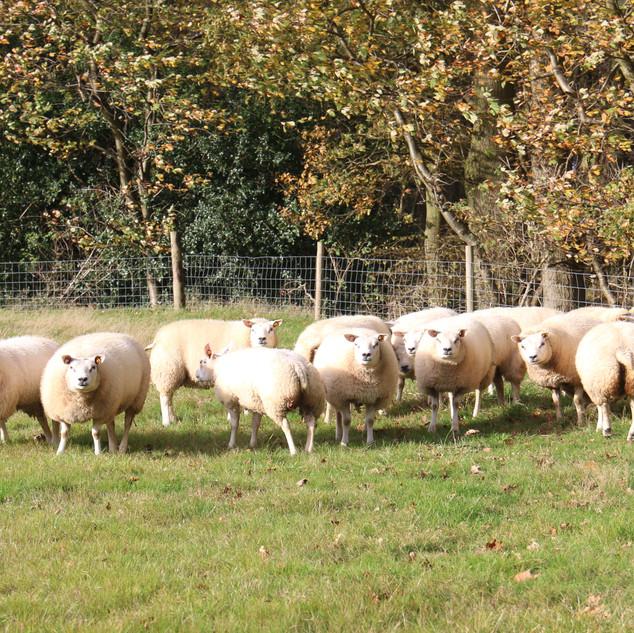 ewe lambs in the autumn sun.jpeg