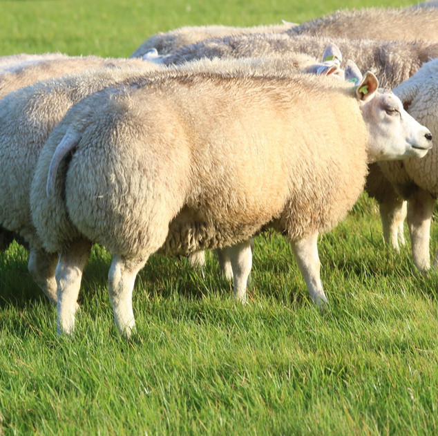 ra lamb early November.jpg