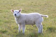 ram lamb 675