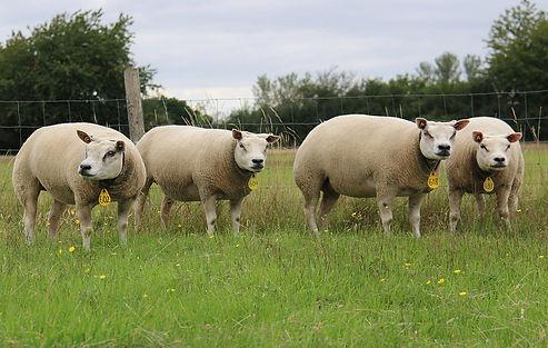 4 ewes.jpg