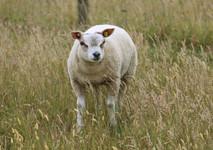 644 triplet, ram lamb.jpg