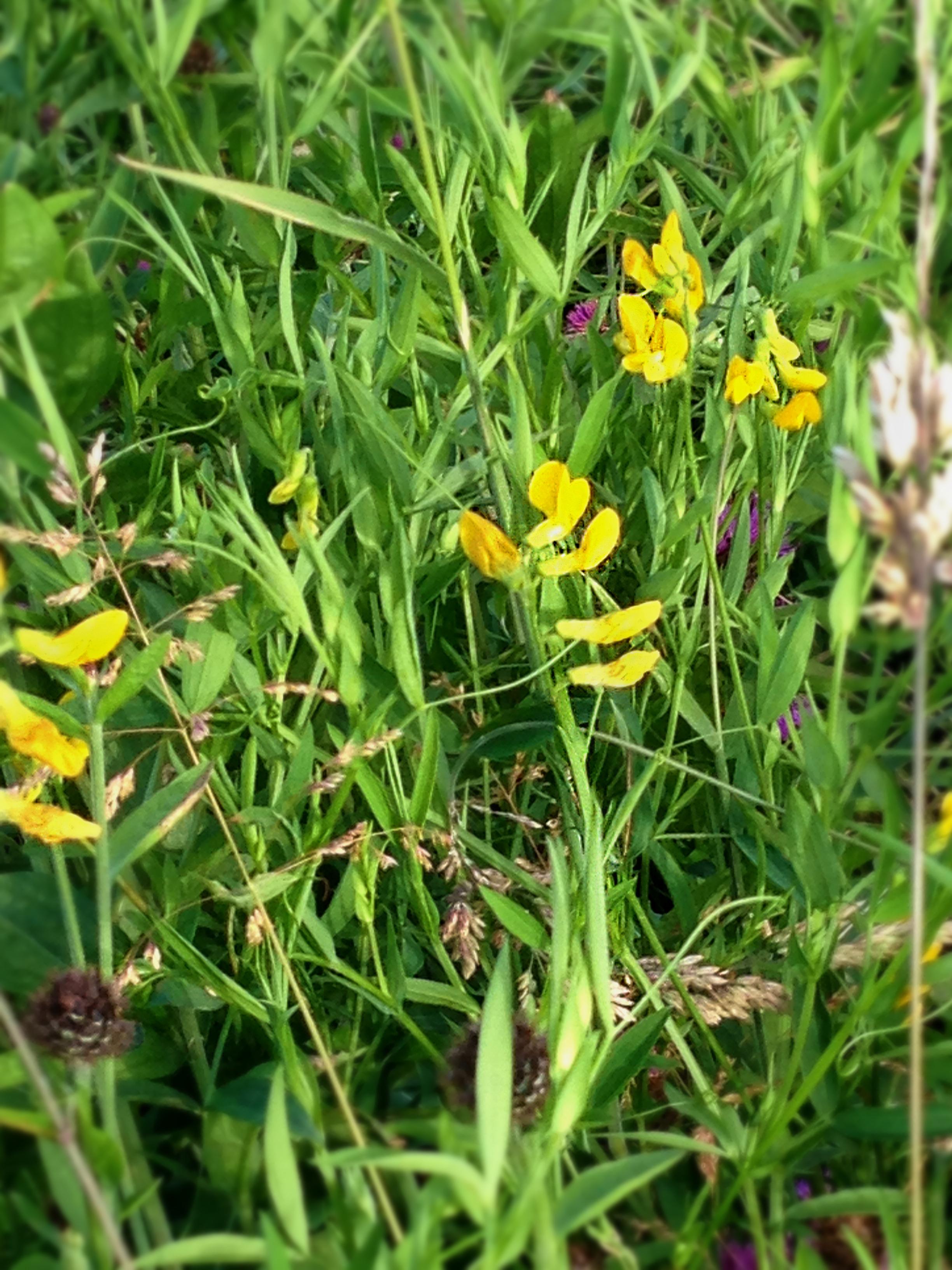Meadow Vetchling - Lathyruds Pratensis