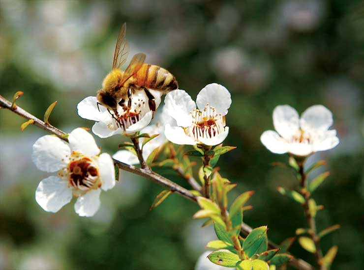 Manuka Tree with Bee