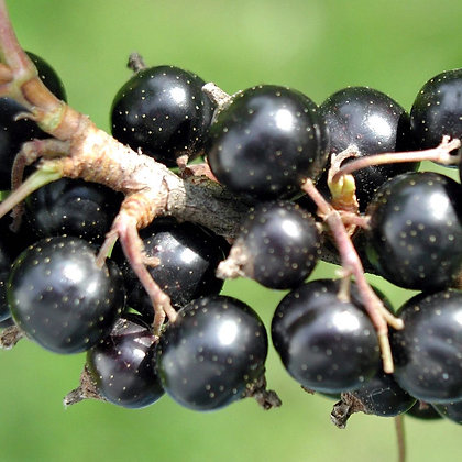 Blackcurrant intake