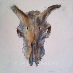sheep skull i