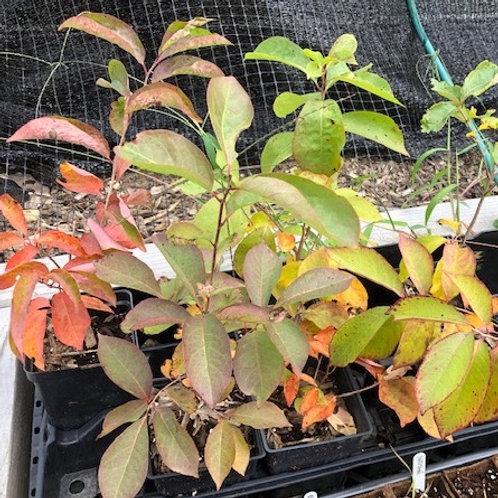 Persimmon Tree Seedlings