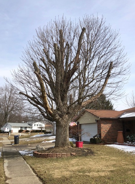 Stump pruning a mature tree leads to rebound overgrown