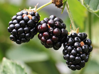 Tasty Brambles: Raspberries and Blackberries for the Backyard