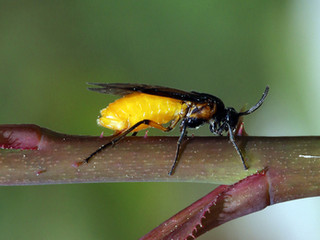 Sawfly Slugs Are Not Caterpillars!