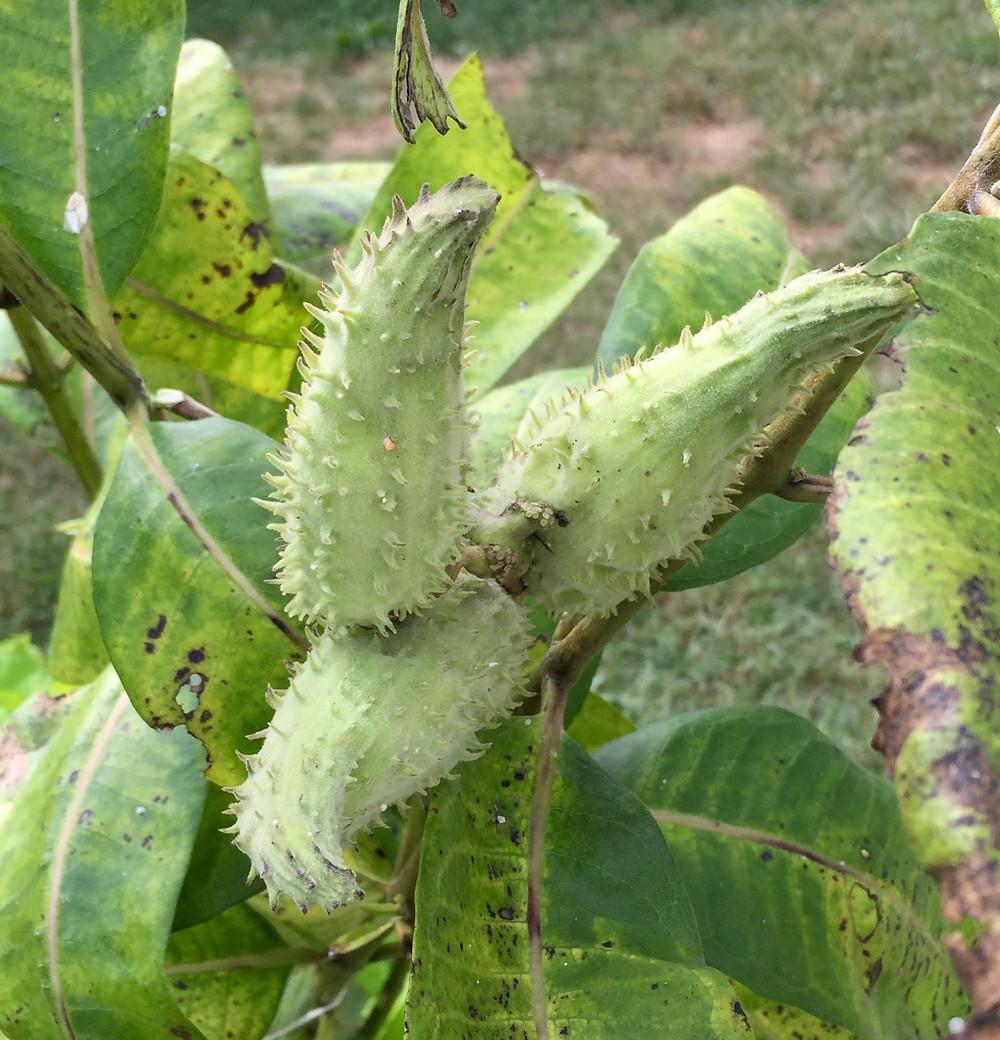 unripe milkweed pods central ohio