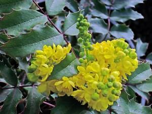 Mahonia aquifolium in bloom
