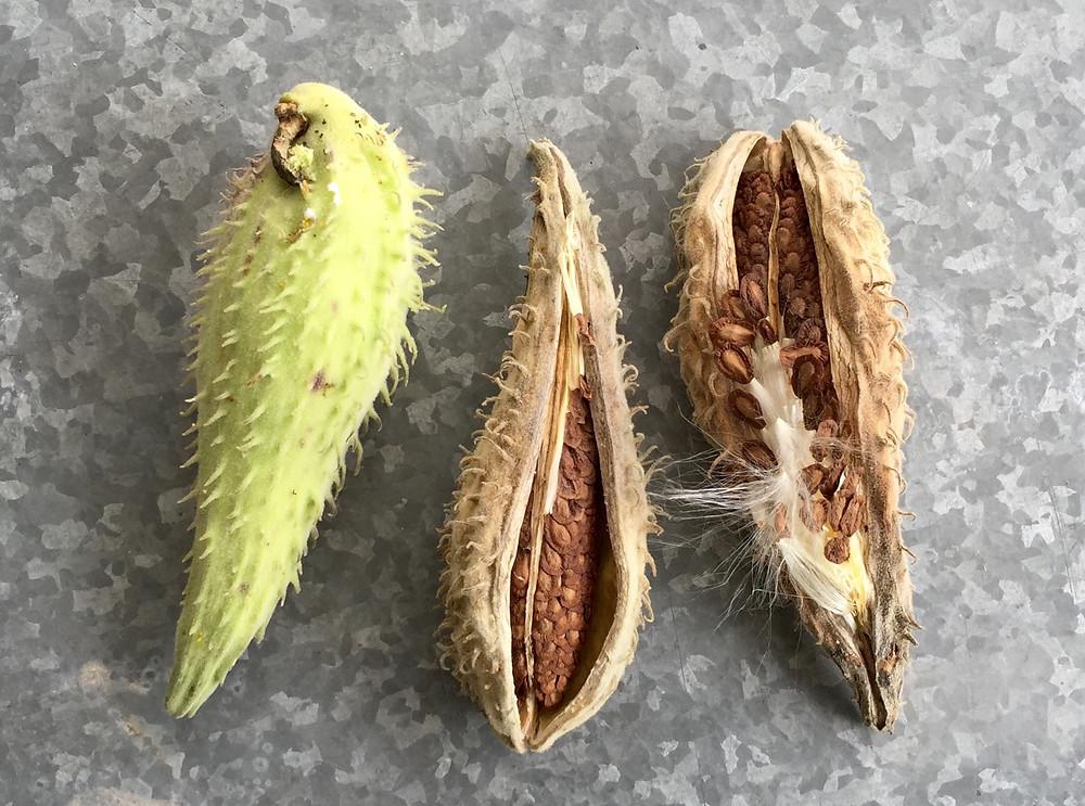 asclepias syriaca common milkweed pods columbus ohio