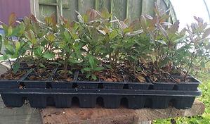 myrica seedling full flat.jpg
