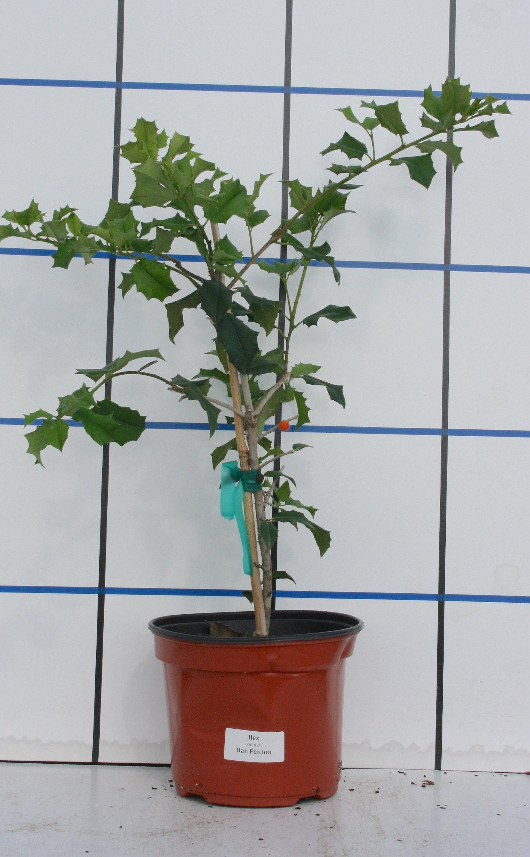 cumberland nurseries ilex dan fenton cumberland nurseries ilex dan fenton