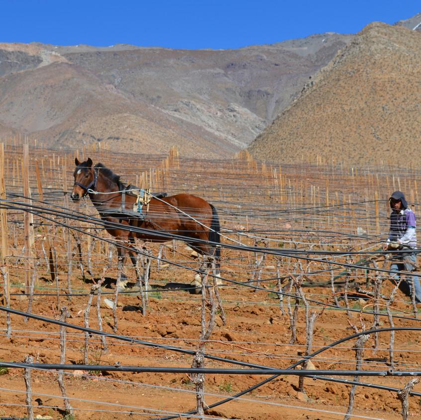 Wijnbouw met paarden in de Andes