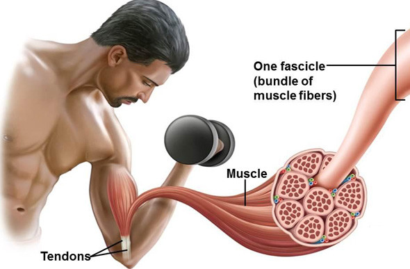 les fibres musculaires prennent le temps pour se multiplier
