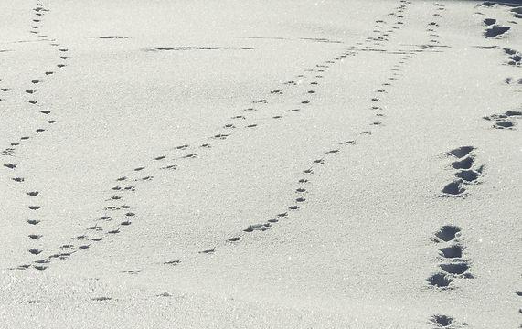 Fährte-Fuchs-Hund-Hase