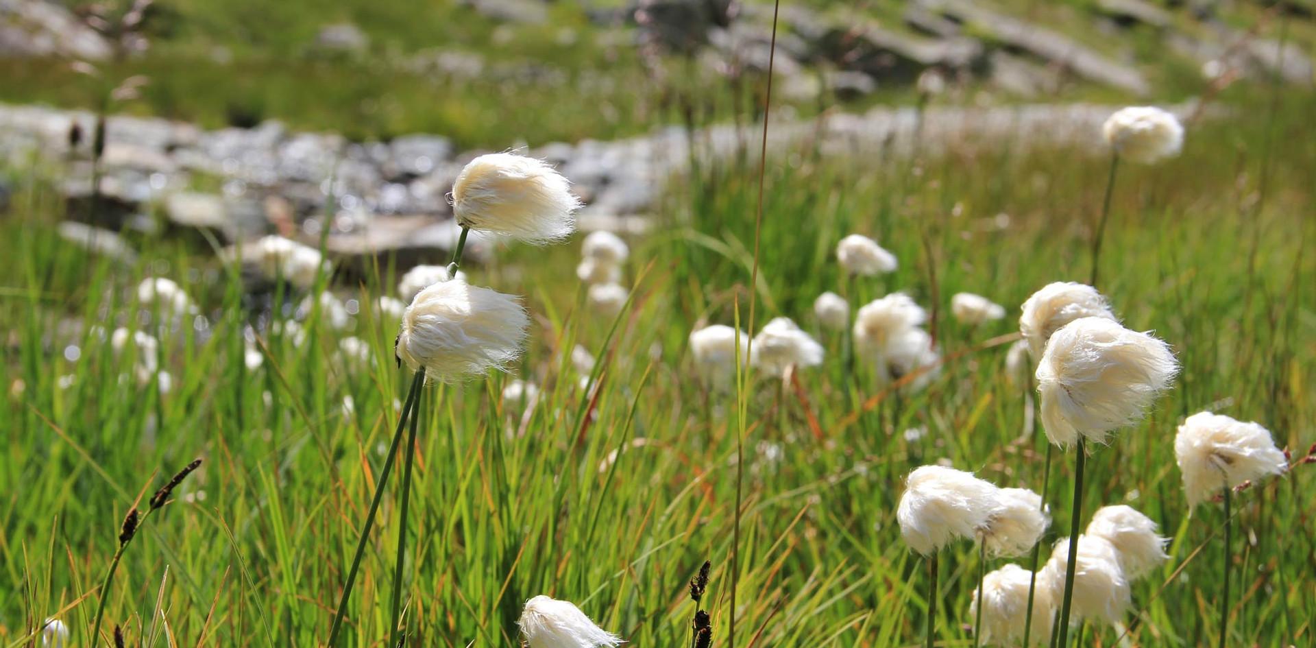 Alpen-Wollgras