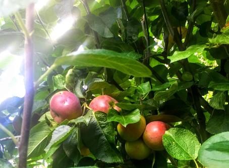 庭の材料で作るアップル&ブラックベリークランブル