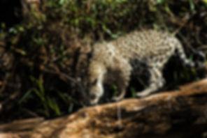 Panthera onca por Fernando Lara durante o Projeto V-ONÇA