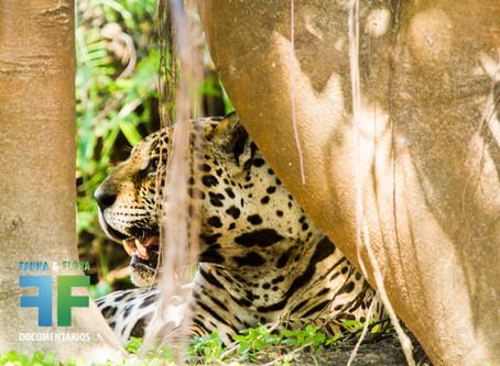 Chegou o projeto V-ONÇA: ecoturismo de observação focado em onças-pintadas no Pantanal