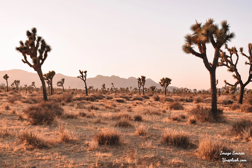 Joshua Tree Landscape in California, USA