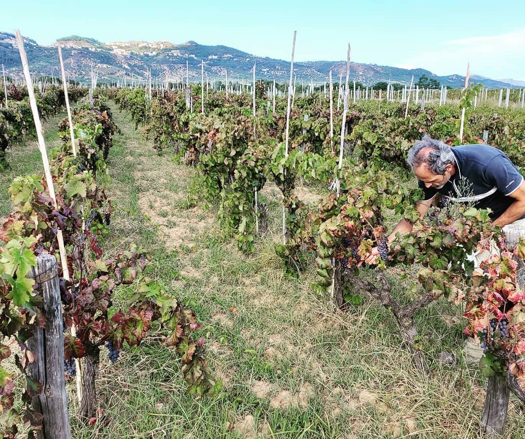 Measure grape ripeness