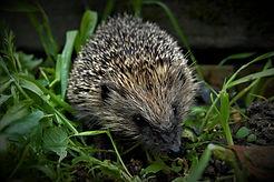 Cetra-Coverdale-Hedgehog-Street-darker-2