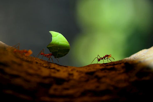 amazon-jungle-ant-leaf-cutter-photo-ecua
