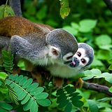 squirrel monkey cuya.jpg