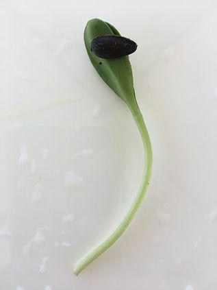 closeup sunflower microgreen vertical.JP