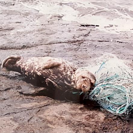 RUBIK - JUVENILE SEAL ENTANGLED IN A NET (DOM029)