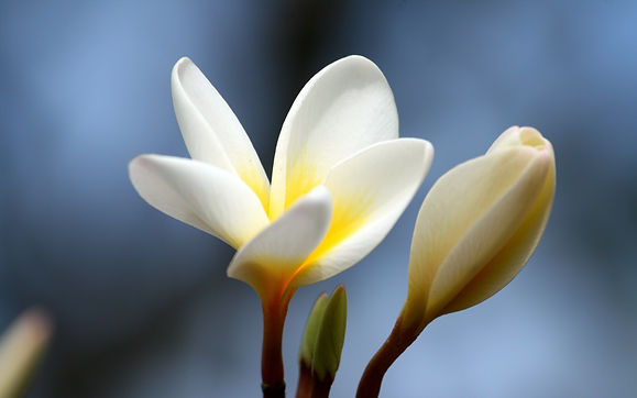 plumeria_flower_bud_close_up_112763_3840