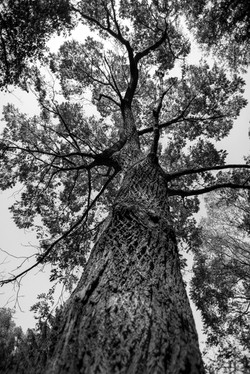 The Black and White Tree
