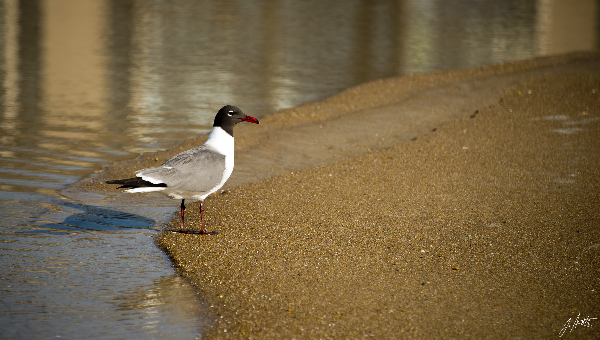 Day145_The Laughing Gull_May25
